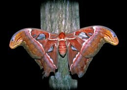 Atlas moths never eat, surviving their short lives on fat reserves