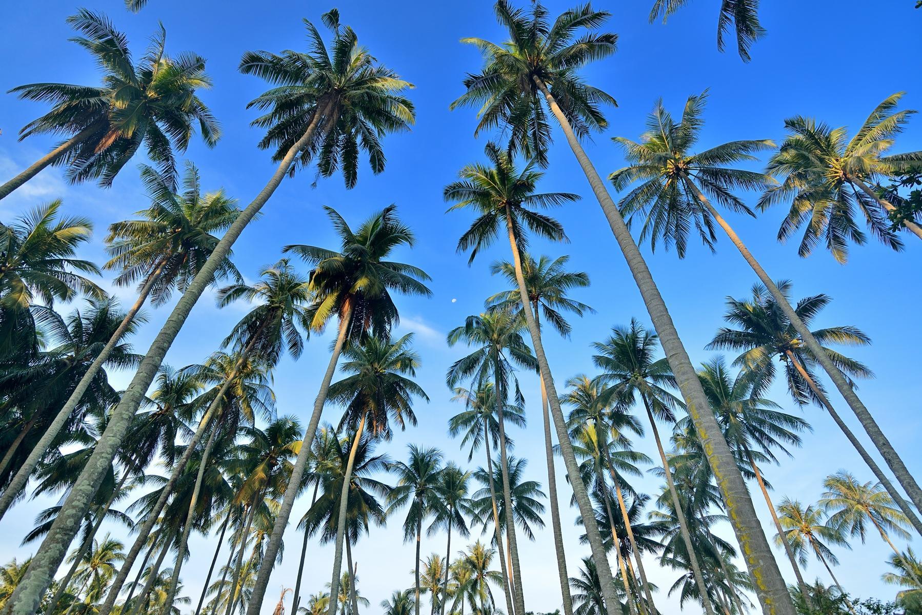 Coconut Palm - KHAO SOK National Park, Thailand