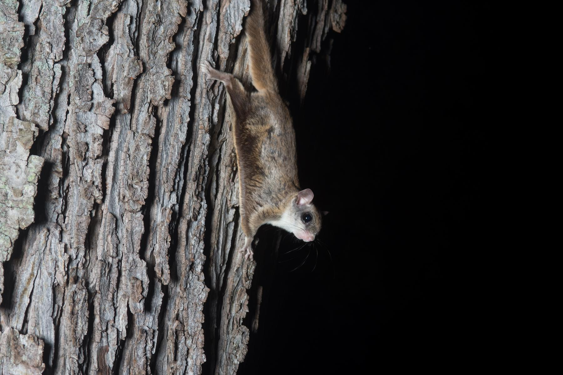 Flying squirrel - KHAO SOK National Park, Thailand