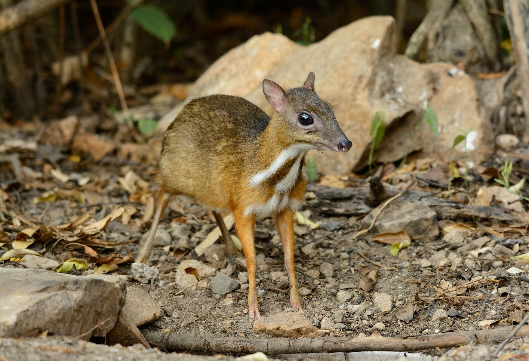 mouse deer - photo #5