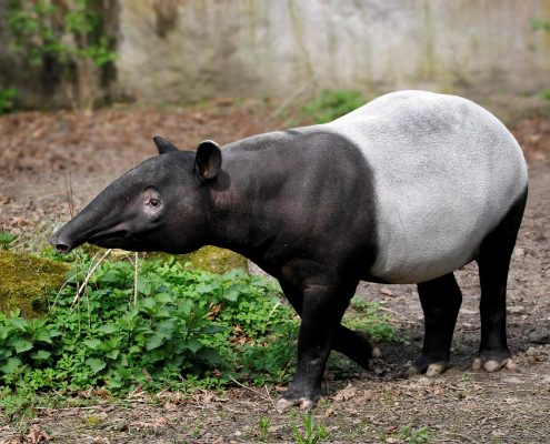 Mammals Khao Sok National Park Thailand