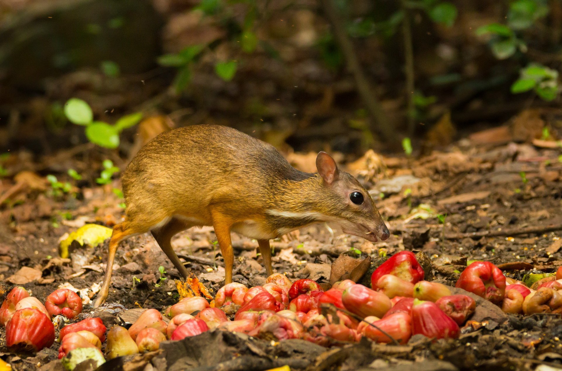 mouse deer - photo #21