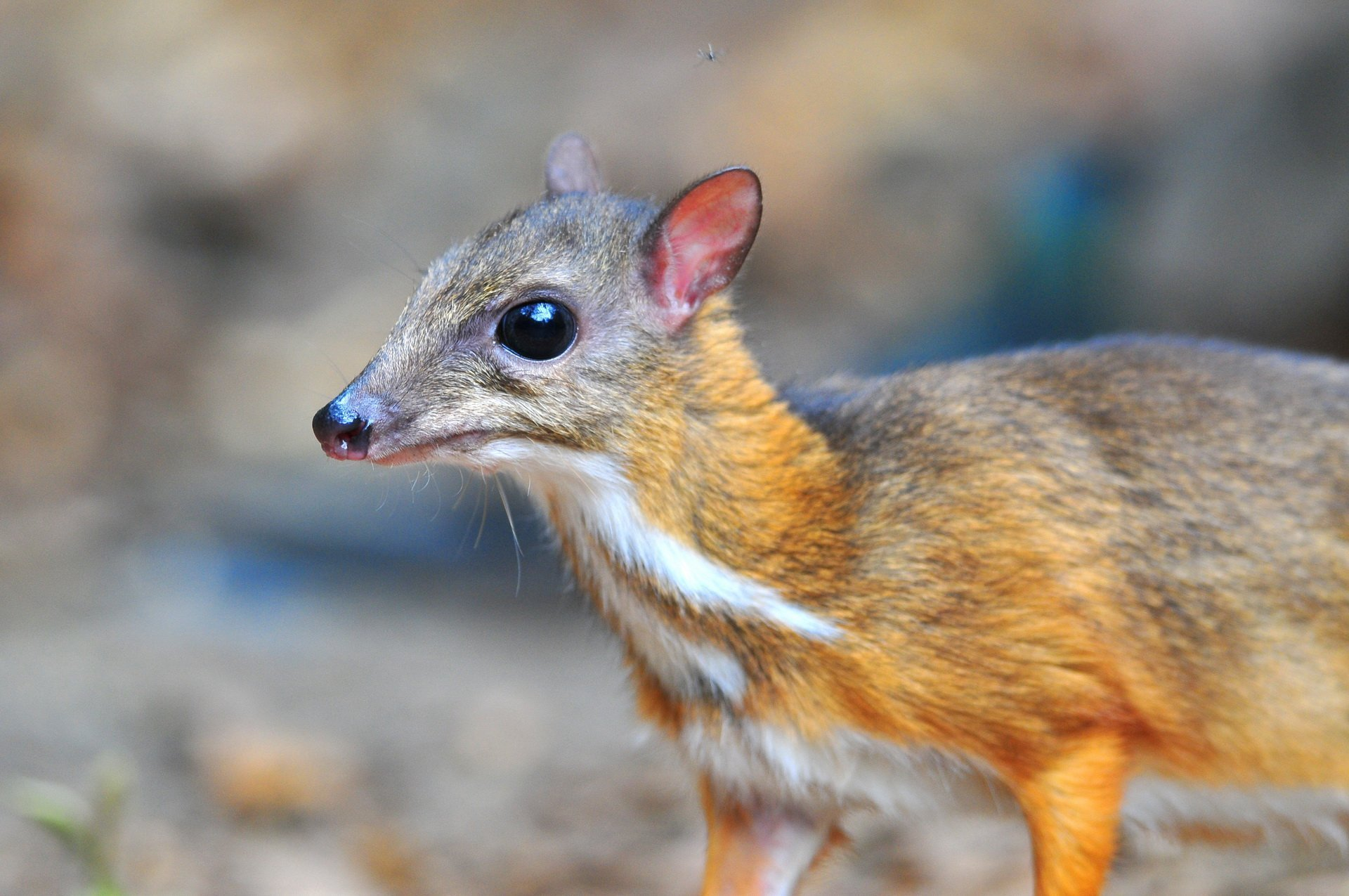 mouse deer - photo #30