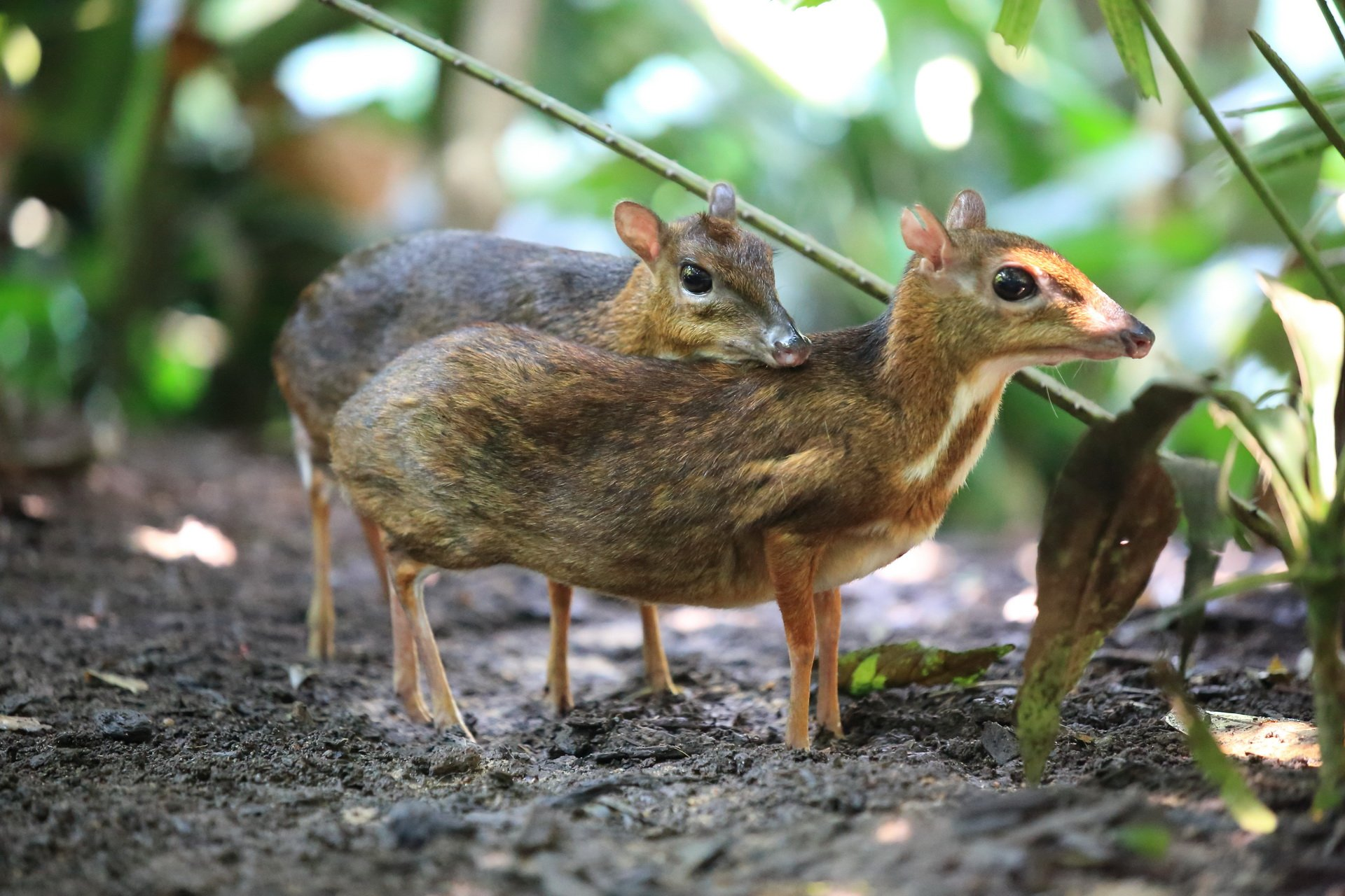 Mouse Deer Khao Sok National Park Thailand