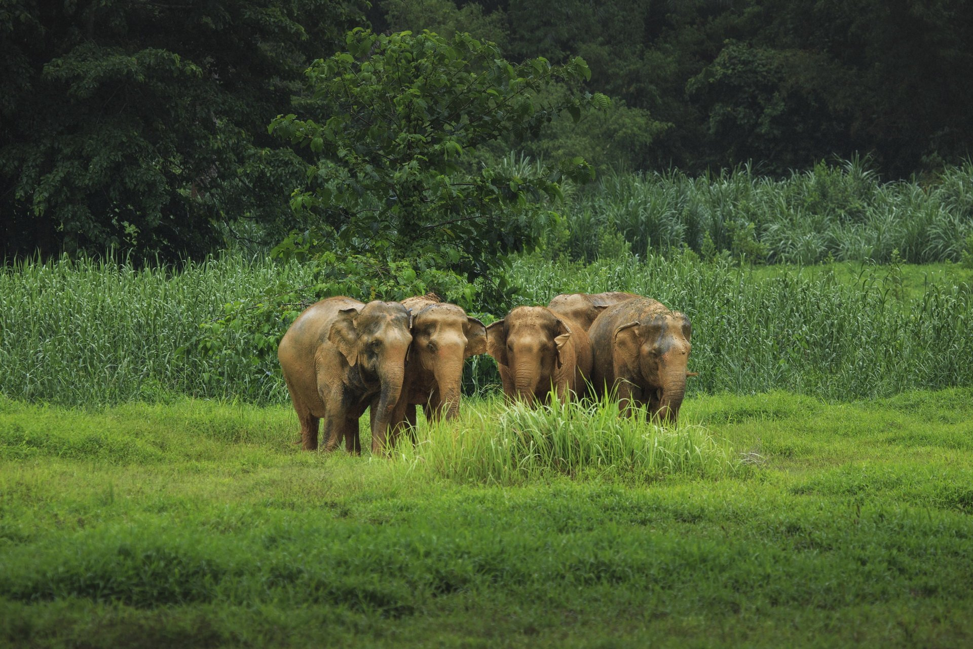 Asian elephants roam free in Khao Sok's chain-free elephant park